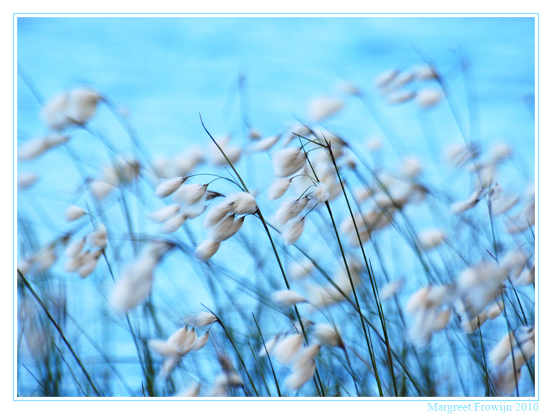 riet, gras, grasjes, grassen, graswallpaper, ijs, free wallpaper, wallpapers, gratis achtergrond, achtergronden