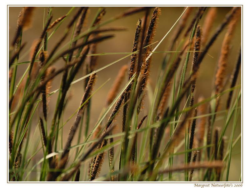 riet, gras, grasjes, wallpaper, wallpapers, achtergrond