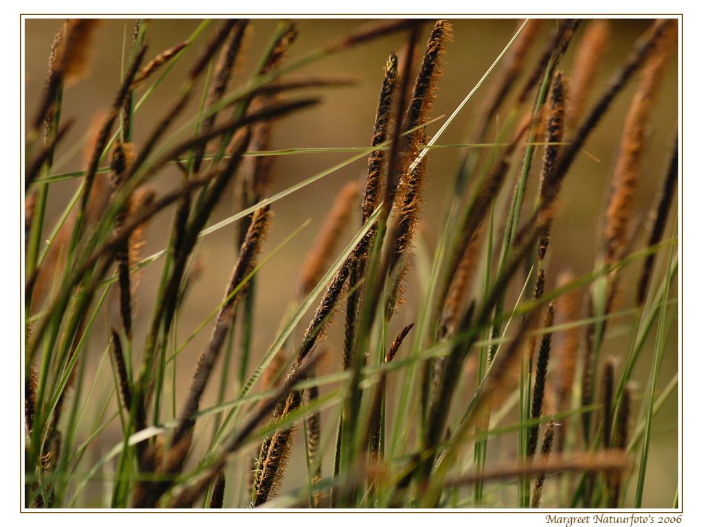 riet, gras, grasjes, grassen, graswallpaper, free wallpaper, wallpapers, gratis achtergrond, achtergronden