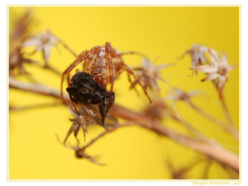 spin, spinnen, spinnetje, wallpaper, wallpapers, achtergrond