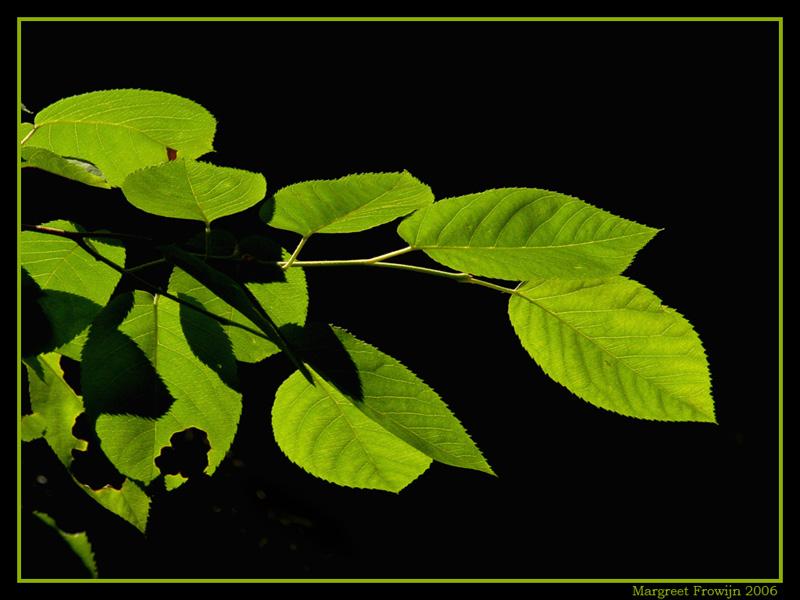 groene bladeren, blad, wallpaper, wallpapers, achtergrond