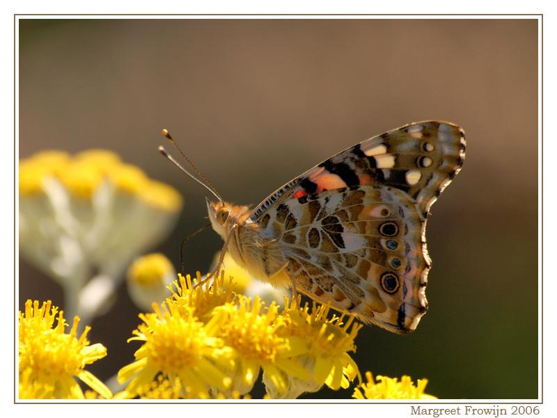 distelvlinder, vlinder, vlinders, vlinderwallpaper, free wallpaper, wallpapers, gratis achtergrond, achtergronden