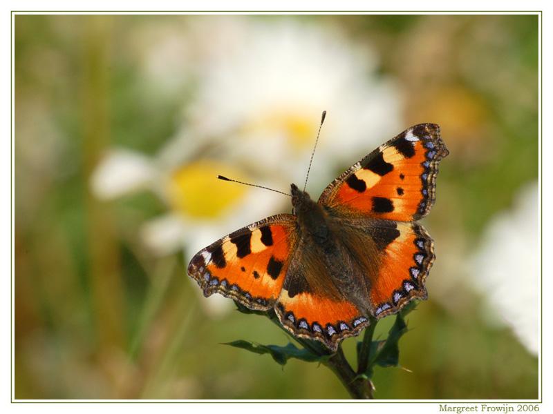 vlinders, vlinderwallpaper, vlinderwallpapers, vlinderachtergrond