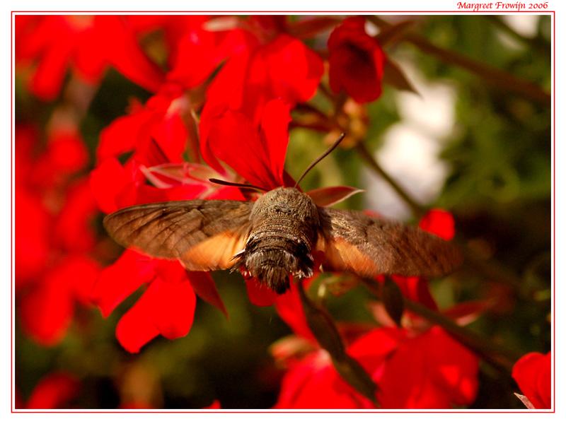 kolibrievlinder, vlinder, vlinders, vlinderwallpaper, free wallpaper, wallpapers, gratis achtergrond, achtergronden