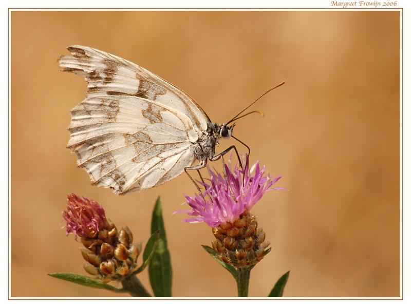 dambordje, vlinder, vlinders, vlinderwallpaper, free wallpaper, wallpapers, gratis achtergrond, achtergronden