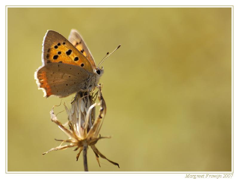 vlindertje, vlinder, vlinders, vlinderwallpaper, vlinderwallpapers, vlinderachtergrond